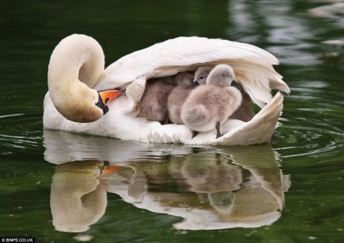 Mother-Swan-wild-animals-7675796-964-684