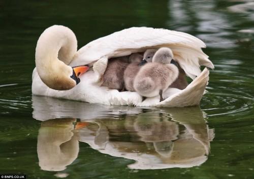 Mother-Swan-wild-animals-7675796-964-684
